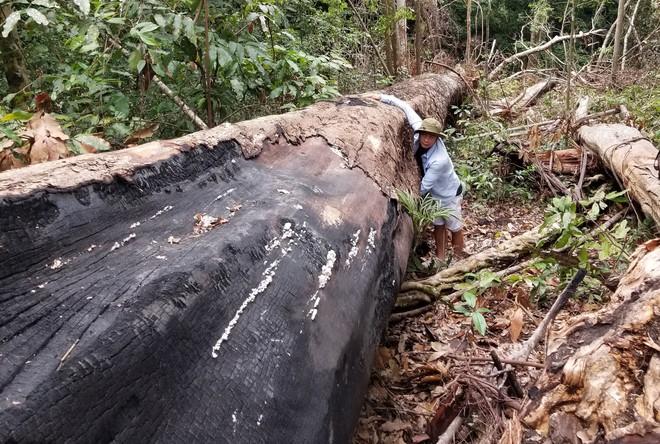 Bị đục thân, đổ dầu đốt gốc 2 cây gỗ hương cổ thụ chết, chủ rừng nói không thiệt hại vì gỗ vẫn còn ở đó - Ảnh 1.