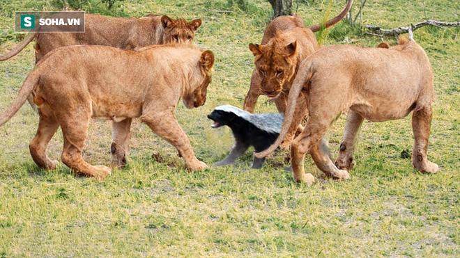 Lửng mật bị sư tử bao vây. Ảnh: Pinterest