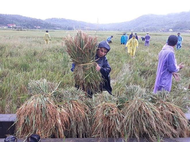 Hàng chục thanh niên tình nguyện ở Hà Tĩnh ra đồng giữa mưa gặt lúa, chạy lũ giúp dân - Ảnh 4.