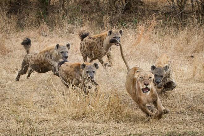 Sư tử cái mắc sai lầm nghiêm trọng, bị 15 linh cẩu bao vây tấn công dữ dội - ảnh 1
