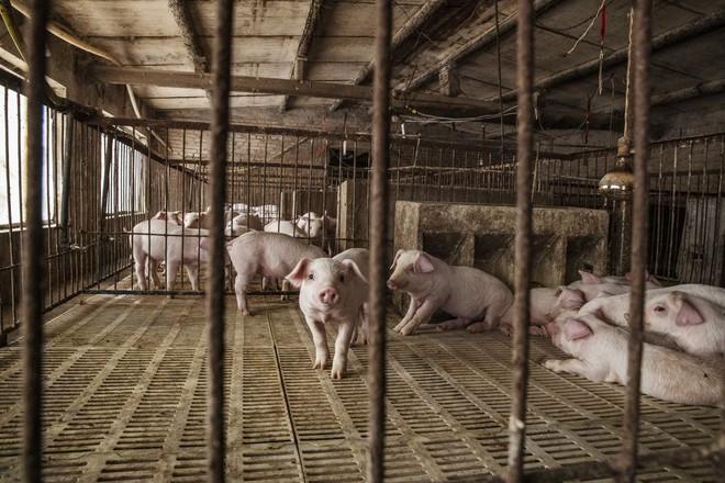 Mất 100 triệu con lợn, Bắc Kinh khổ sở vì bài toán hóc búa: Sẽ dùng tới phương án khẩn cấp? - Ảnh 1.