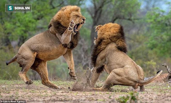 Vị vua già bị 2 sư tử đực trẻ khiêu chiến: Cuộc quyết chiến vì niềm kiêu hãnh - Ảnh 1.