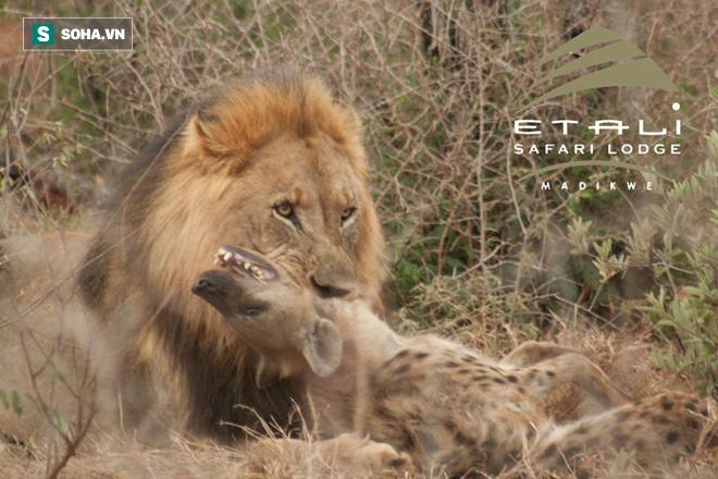 Sư tử ăn thịt linh cẩu. Nguồn: Africa Geographic