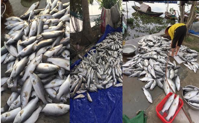Sau 1 đêm, cá lồng giá trị lớn của toàn xã chết nổi trắng sông