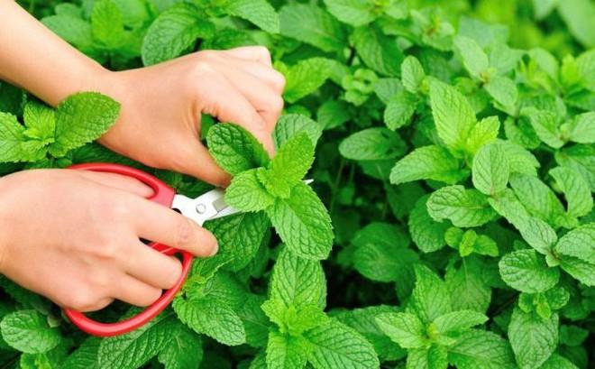 Những loại rau thơm vườn nhà giúp trị bệnh hiệu quả