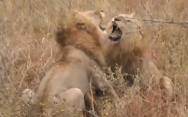 VIDEO: Sư tử đực hỗn chiến vì miếng ăn