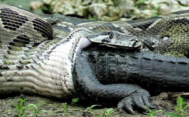 Rùng mình cảnh trăn khổng lồ nuốt chửng cá sấu