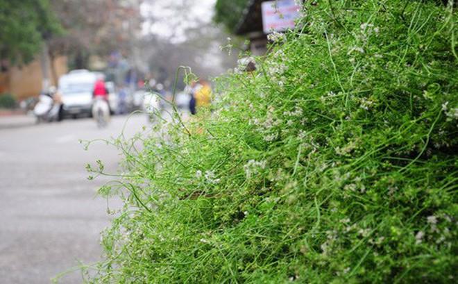 Những tác dụng tuyệt vời của rau mùi ngày Tết