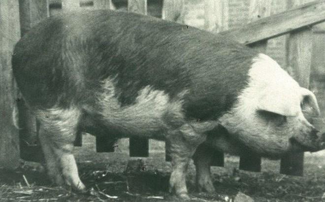 King Neptune: Chú lợn đắt giá nhất hành tinh, từng kiếm được hơn 250 triệu USD và góp công làm thay đổi thế giới