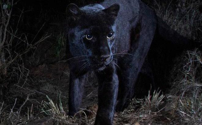 Huyền thoại báo đen châu Phi là có thật: Báo hoa đen siêu hiếm lần đầu tiên xuất hiện sau 100 năm