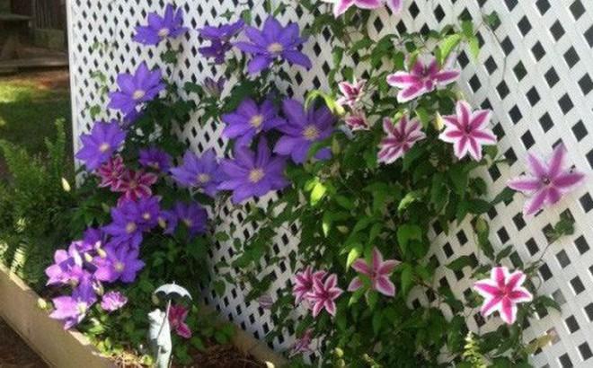 Những mẹo nhỏ giúp cây hoa ông lão trở thành điểm nhấn duyên dáng đặc biệt cho khu vườn