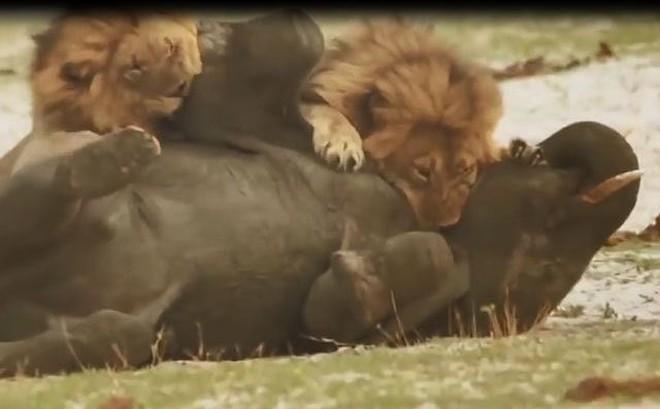 Voi con bị đàn sư tử tấn công và cái kết bất ngờ