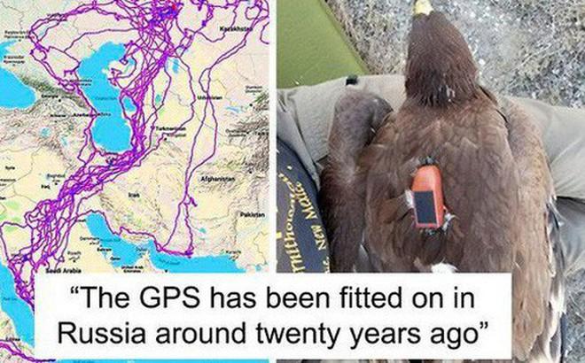 """Con đại bàng với thiết bị GPS cho thấy """"hành trình ngàn dặm"""" của nó sau 20 năm đáng nể như thế nào"""