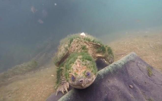 Video: Vẻ đẹp thần tiên của rùa common snapping