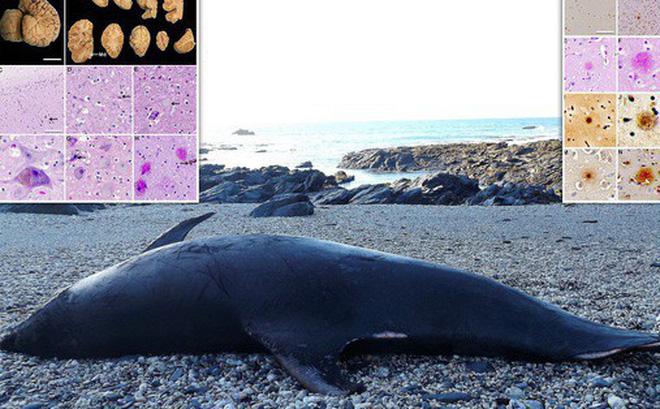 Hàng chục xác cá heo dạt bờ mắc... Alzheimer như con người và lý do hết sức đáng lo ngại