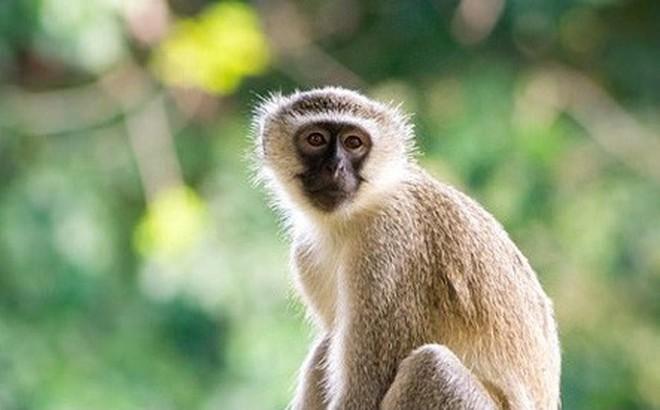 Bầy khỉ ngang nhiên xông vào bệnh viện, cướp đồ ăn của bệnh nhân