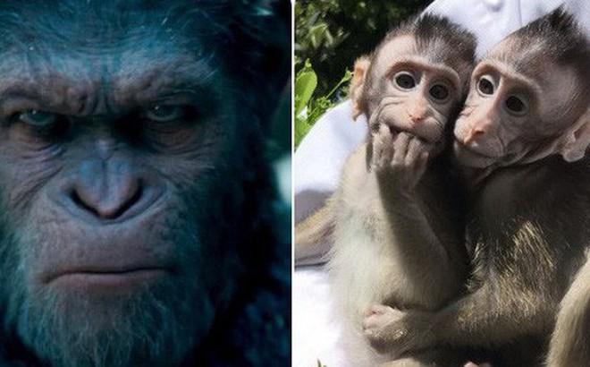 """Khoa học tạo ra những con khỉ với não bộ phát triển như người: Kịch bản """"Hành tinh khỉ"""" sắp xảy ra?"""