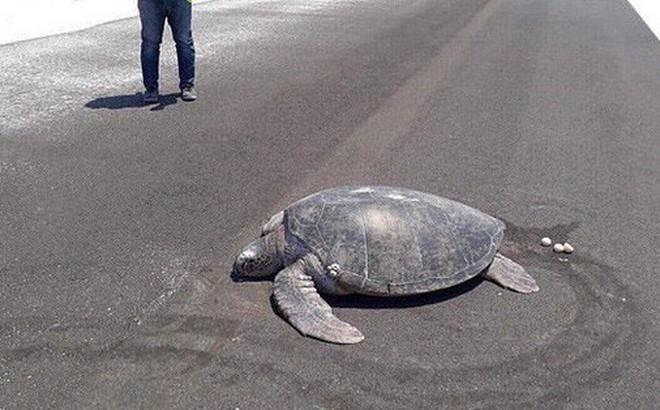 Xót xa cảnh tượng rùa hiếm Maldives lặn lội về quê đẻ trứng, nào ngờ tổ đã biến thành đường băng sân bay