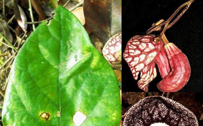 Phát hiện một loài mộc hương mới ở Việt Nam
