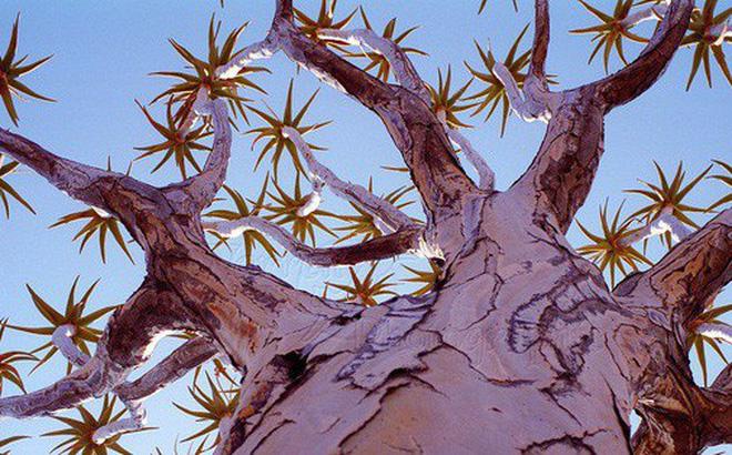 Loài cây như gốc rễ lộn ngược này hóa ra còn quý hơn cả kim cương đối với người Namibia