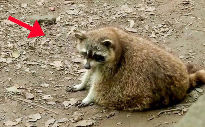 Ham ăn đồ ăn của du khách, đám gấu mèo ở sở thú Trung Quốc bỗng phát phì, giảm hẳn khả năng sinh sản