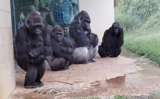 Video gia đình khỉ đột trú mưa gây bão mạng