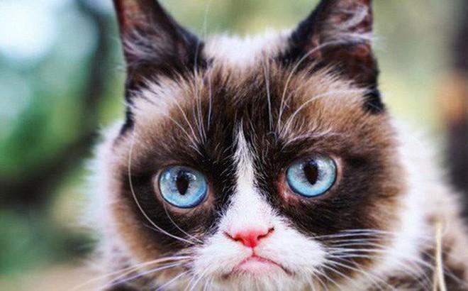 Grumpy Cat - cô mèo cáu kỉnh nhất thế giới với hơn 8 triệu người theo dõi đã qua đời