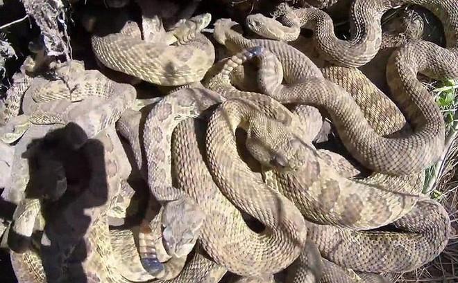 Clip: Rùng mình thâm nhập ổ rắn chuông cực độc, nhung nhúc hàng trăm con