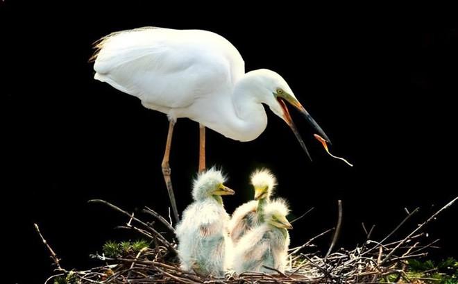 Ấm áp tình mẫu tử của loài cò trắng trong mùa sinh sản