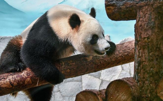 Lãnh đạo Nga - Trung 'ngoại giao gấu trúc' tại vườn thú Matxcơva