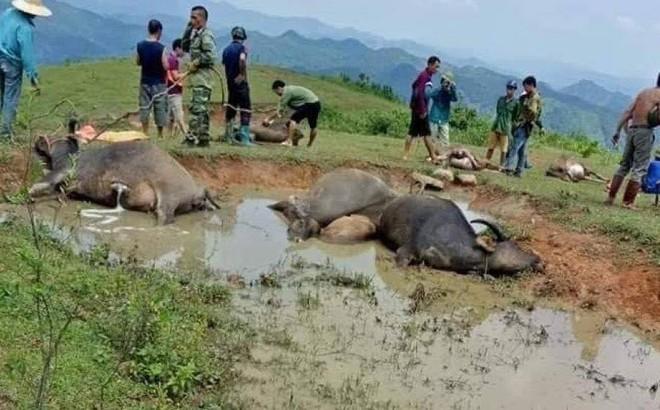 Sét đánh chết 9 con trâu đang tắm trong vũng bùn ở Lạng Sơn