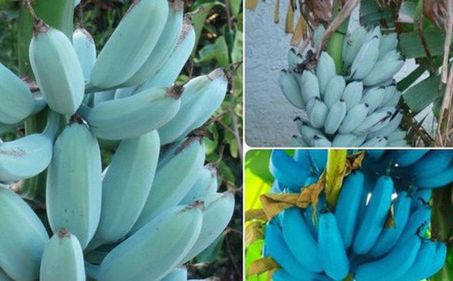 Tưởng là Photoshop nhưng những quả chuối xanh lam này có thật, rất hiếm và mang mùi vị ai nấy cũng thích khi nếm thử