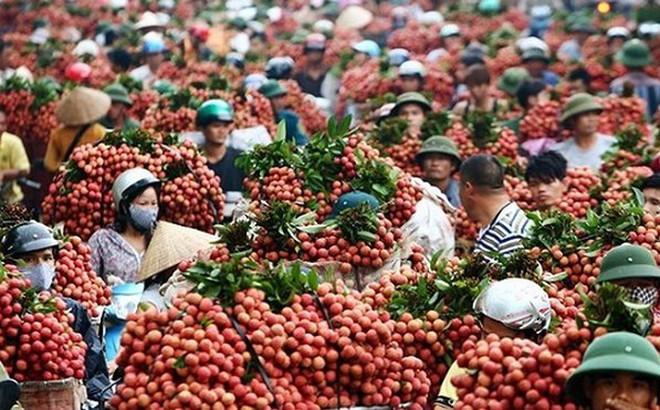 Gần 400 thương lái Trung Quốc ùa về Lục Ngạn tranh mua vải thiều