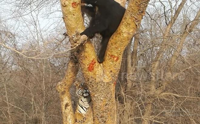VIDEO: Hổ hoảng sợ rơi xuống đất vì dọa gấu đen không thành