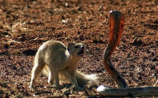Màn đối đầu gay cấn giữa cầy Măng-gút và rắn hổ mang