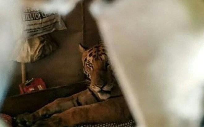 Hổ hoang dã Ấn Độ xông thẳng vào nhà dân leo lên giường náu mình tránh lũ