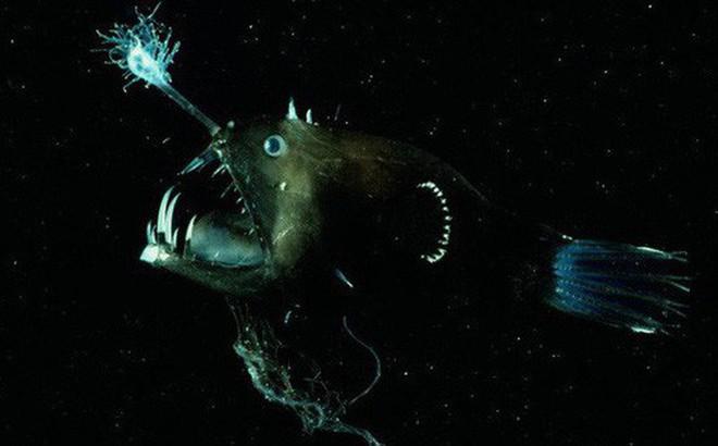 Cá lồng đèn: Tên dễ thương nhưng mặt thì không thương nổi và có những hành vi đáng sợ nhất đại dương