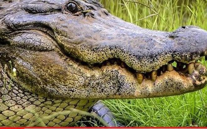 Người phụ nữ bị cá sấu cắn khi đang dắt chó cưng đi dạo