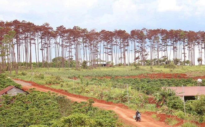 Bắt cán bộ ngân hàng thuê người 'đầu độc' rừng thông để chiếm đất
