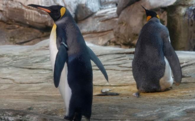Quá khao khát có con, cặp cánh cụt đồng tính tha cả đá về ấp