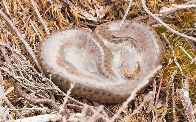 """Cảnh tượng loài rắn độc duy nhất tại Anh Quốc """"cất tiếng khóc chào đời"""": Người thường sởn gai ốc nhưng với khoa học thì rất thiêng liêng"""