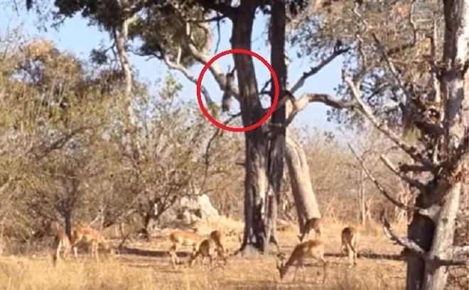 Báo đốm lao từ trên cây để bắt mồi