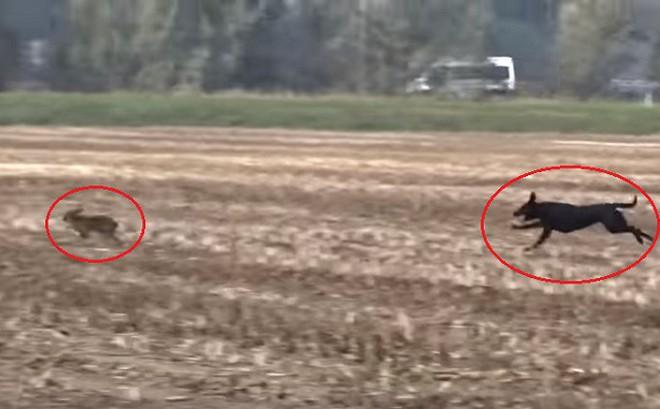 Chó đuổi bắt và tóm gọn thỏ trên đồng ngô