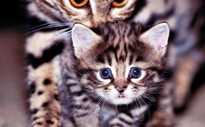 Mèo chân đen: Nhìn thì có vẻ ngây thơ nhưng chúng lại là loài mèo nguy hiểm nhất trên Trái Đất