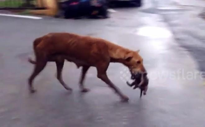 Video: Cảm động trước nỗ lực cứu đàn con của chó mẹ gầy yếu