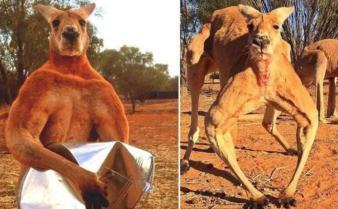 Kangaroo thời cổ đại: Cao tới 3m, nặng hơn 100kg, xương hàm cứng như thép có thể xẻ đôi thân cây lớn