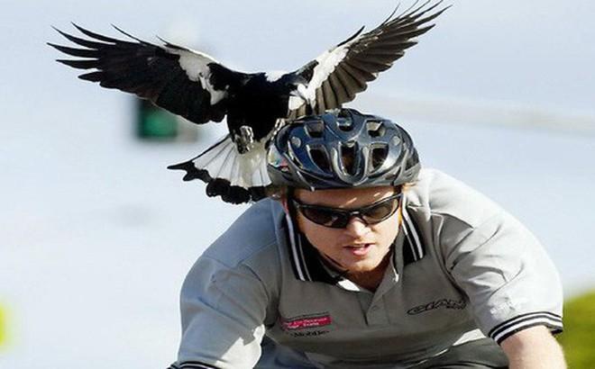 """Lại là nước Úc kinh dị: Tài xế ở đây đang có nguy cơ phải bỏ mạng vì biệt đội """"Angry bird"""" từ trên trời rơi xuống"""