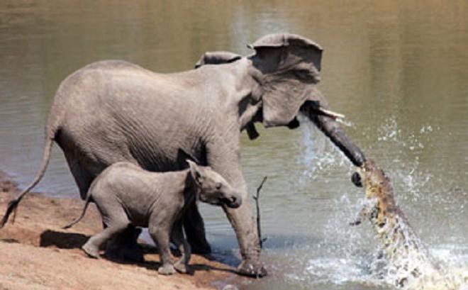 Những lần cá sấu 'mai phục' và tóm gọn voi