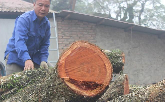Vụ đấu giá gỗ sưa 'trăm tỷ' ở Hà Nội phải chờ trưởng thôn mới