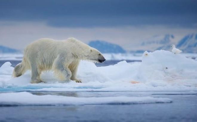Gấu Bắc Cực đói ăn, có nguy cơ biến mất vì băng tan nhanh kỷ lục